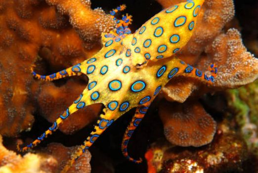 Blue-ringed Octopus - Pacific & Indian Oceans.