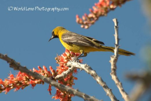 Scott's Oriole on an Ocotillo Branch