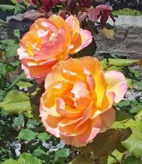 Pink Highlights on Orange Roses