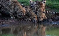Female Cheetah snarling at branch in water