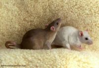 Two ratties
