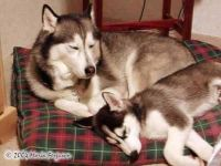 Sleepy Huskies