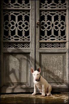 Old Door and Bull Terrier