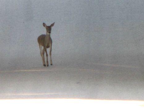 Deer on foggy road