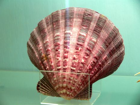 Scallop Shell - For those who want more pieces.