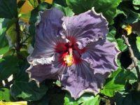 Flower in Ajijic, Mexico