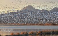 Snow Geese and Sutter Buttes by MZ Photography & Art