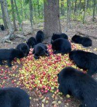 Bears and apples -