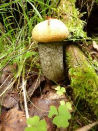 mushrooms_Leccinum albostipitatum