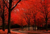 Maple trees in Portland, Oregon