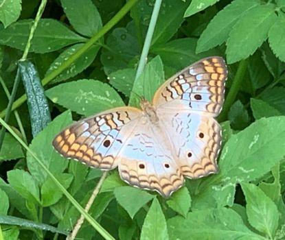 Butterfly at Myakka State Park 9/6/20