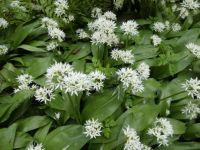 Allium ursinum in my garden