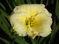 Beauitiful Yellow Day Lilly