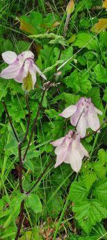 Wilde akelei, in the dunes of Rockanje (several colours there). Aquilegia vulgaris.