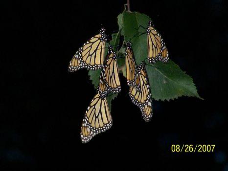 monarchs 6