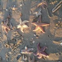 Starfish on the beach, januari 2017