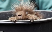 Baby porcupine says Good Morning!