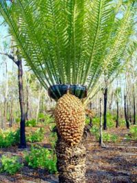 Cyril Cycad