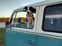 Dogs and VW Buses Go Together