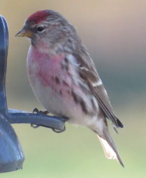 The 'Pink' Redpoll appeared again.