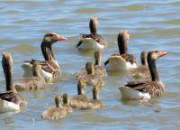 greylag geese family (grauwe ganzen)