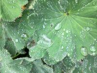 delicate dew drops
