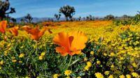 Antelope Valley in bloom