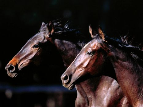 Horses_wallpapers_332