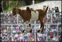The unbelievable dexterity of a goat...