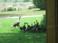 A Visit From Wild Turkeys_2