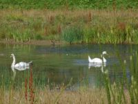 Swans on Agbrigg Flood Defence