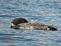 Common Loon dozing - almost...