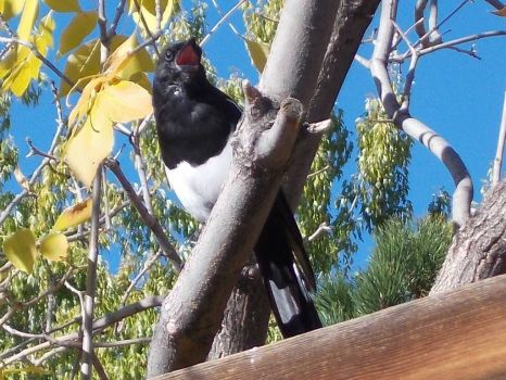 magpie just, singing in the sun!!!(spunky & the bandit).