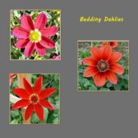 Bedding Dahlias.