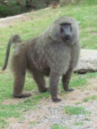 Baboon by the side of the road
