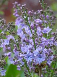 Wonder Blue Lilacs