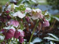 Hellebore grouping with snow