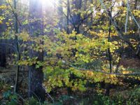 Theme trees: Late Autumn - November. Morning sun shining in the forest
