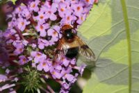 pellucid fly - Volucella pellucens (ivoorzweefvlieg)
