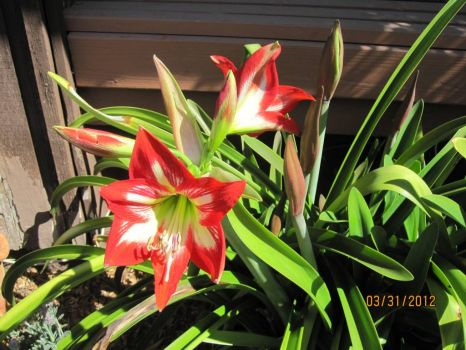Amaryllis rescued from foreclosed house next door