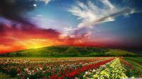 flowersfield3