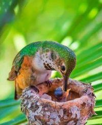 hummer feeding chick