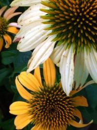 echinacea gold and white--more challenging