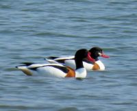 common shelducks (bergeenden)