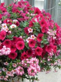 Lovely hanging basket ,shades of Pink.