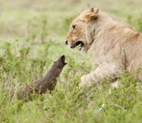 The Lion and the mongoose.