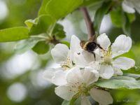 A bee bum