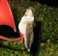 Juvenile Ruby-throated Hummingbird After Hurricane Irma