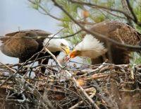 Bald Eagles mate for life