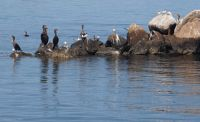 Cormorants and Terns